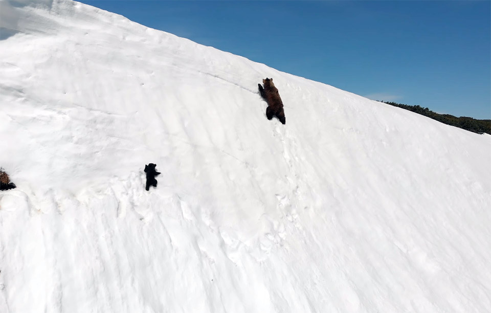 Oso bebé huye junto a su madre