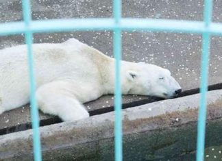 Oso polar muere tras permanecer durante 21 años en un pozo de concreto