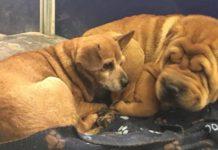 Perro ciego se niega a ir a cualquier lugar sin su mejor amigo
