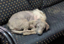 Perro enfermo entra a centro de rescate buscando ayuda