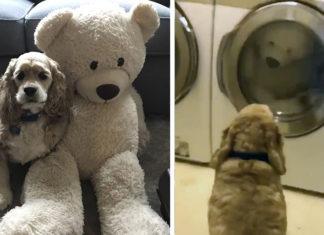 Perro le da apoyo moral a su oso de peluche durante lavado