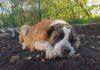Perro muere de ataque al corazón por los fuegos artificiales