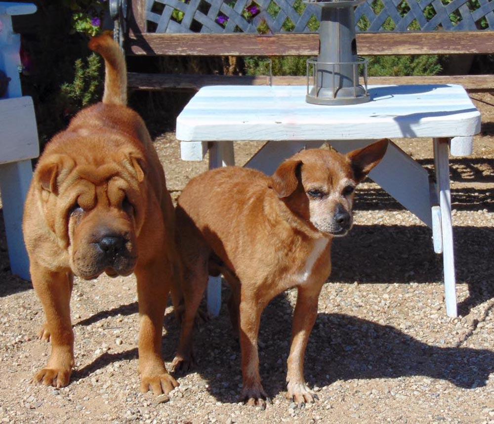 Sharpei y Chihuahua