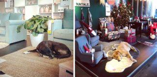 Tienda de IKEA abre sus puertas a perros sin hogar