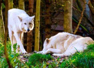 Washington autoriza asesinar a tres raras familias de lobos grises