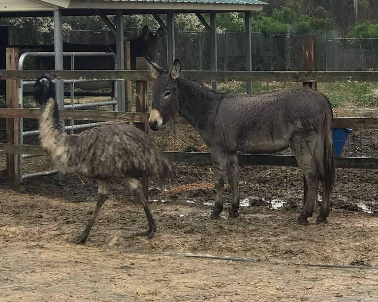 Burro y Emu