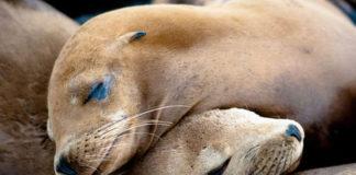 EE.UU. aprueba ley para acabar con los leones marinos