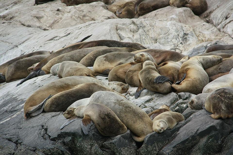 Leones marinos en peligro