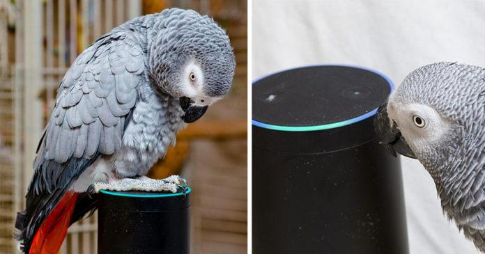 Loro habla con Alexa y la usa para ordenar cosas de Amazon