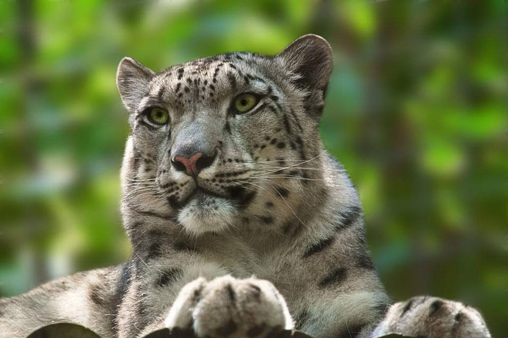 Margaash el Leopardo de las nieves