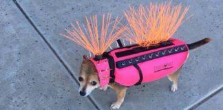 Perrita se roba todas las miradas con su chaleco a prueba de coyotes