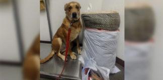 Perro abandonado en el refugio con su cama y juguetes