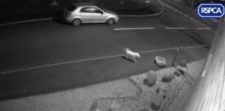 Perro abandonado intenta regresar desesperadamente al auto de su padre