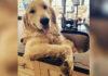 Perro ama bañarse en el fregadero