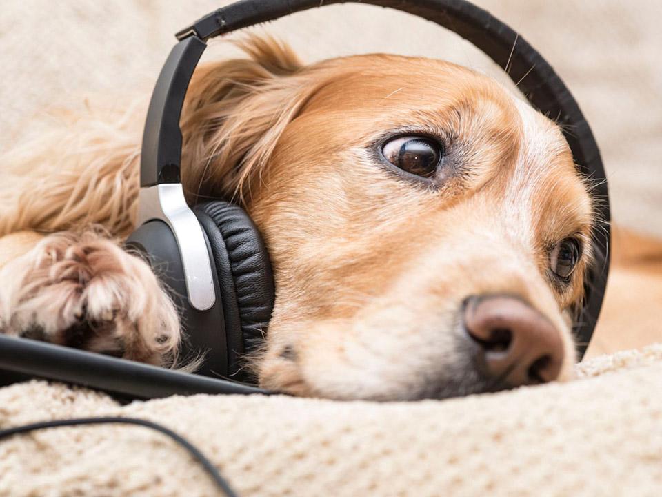 Perro escucha música
