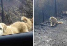 Perro sobrevivió a incendio en California y fue encontrado casi un mes después
