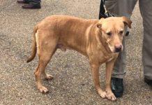 Policía fue reasignado por abandonar a un perrito k9 en un refugio