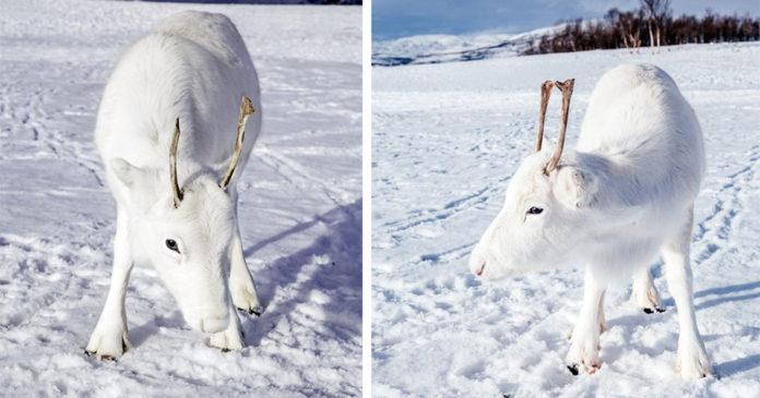 Reno blanco es captado en fotos
