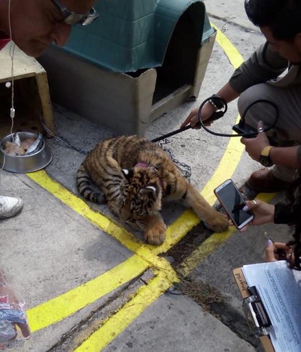 Tigre a las afueras de un restaurante