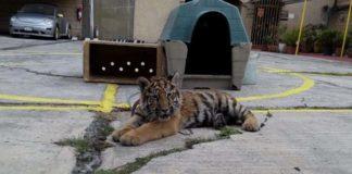 Tigresa bebé fue encontrada encadenada y sola afuera de un restaurante