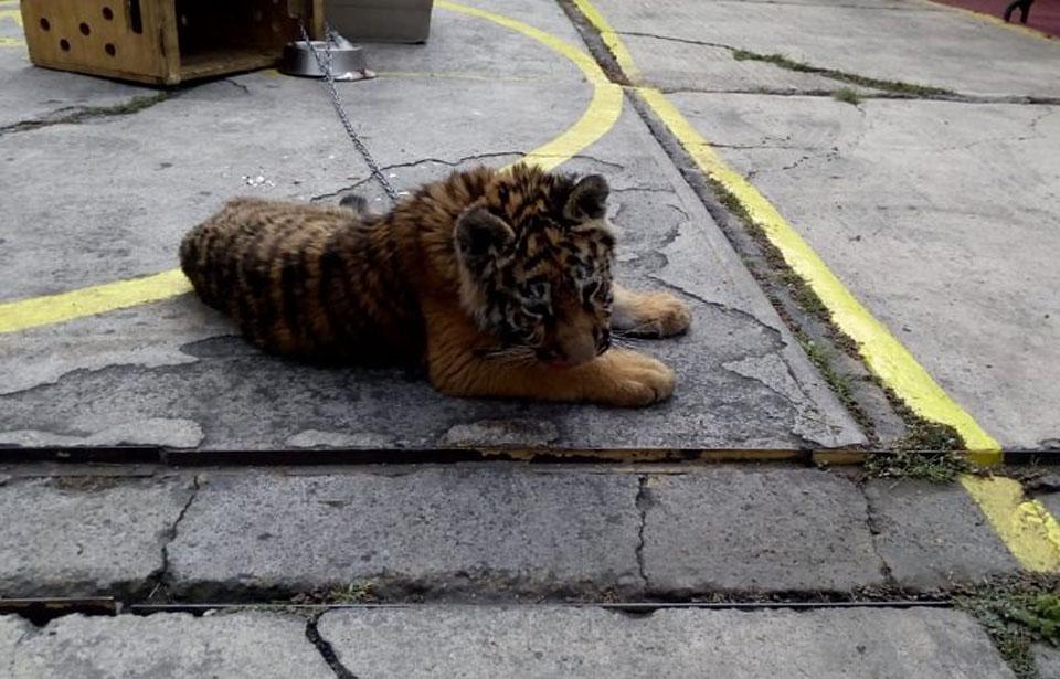 Tigresa bebé fue rescatada