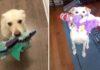 Adorable perrito lleva su juguete a cada huésped que visita su casa