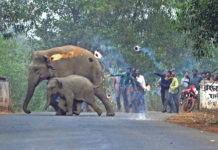 Aldeanos lanzan bombas de fuego a elefantes en la India