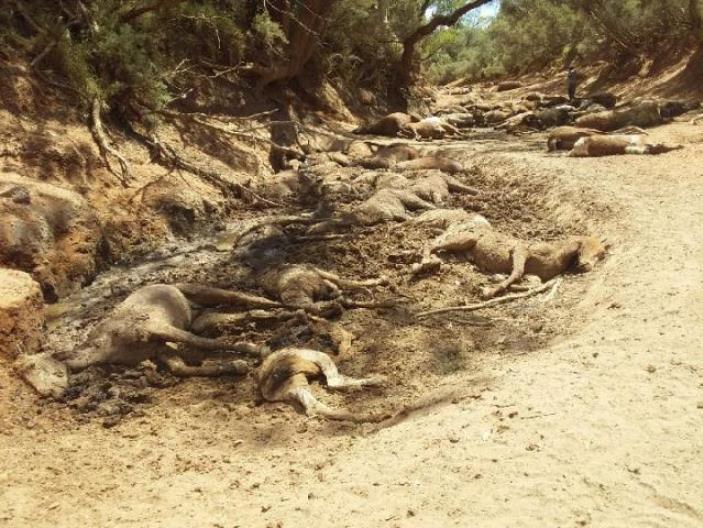 Caballos mueren de sed en Australia
