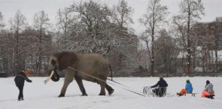 Elefante de circo obligado a halar de trineo