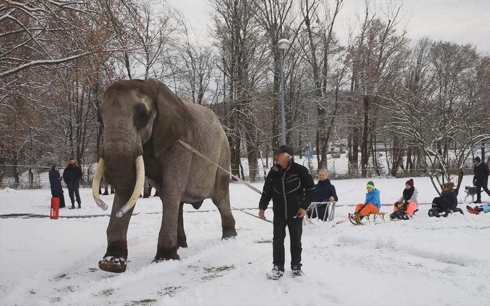 Elefante obligado a llevar trineo