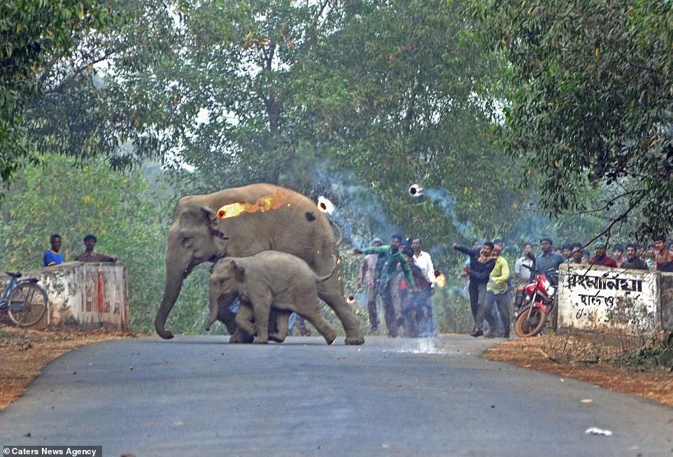 Elefante y su cría perseguidos con bombas de fuego