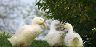 Foie gras desterrado de restaurantes de California