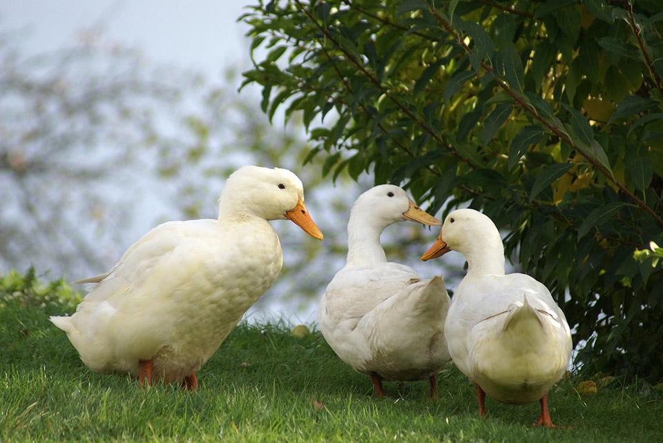 Foie gras prohibido en California