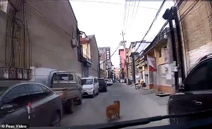 Golden retriever guía ambulancia
