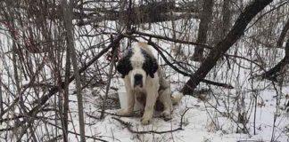 Perrito de edad avanzada sobrevive solo en la nieve durante dos semanas