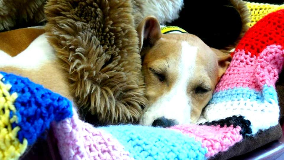 Perro dormido