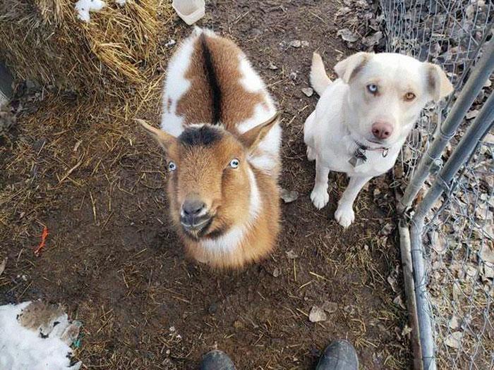 Perro y cabra amigos de Bo