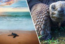 Tortugas bebés aparecen de nuevo en Islas Galápagos