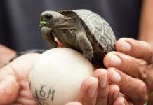 Vuelven a nacer tortugas bebés en las Islas Galápagos