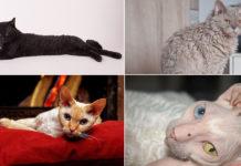 Razas de gatos de pelo rizado