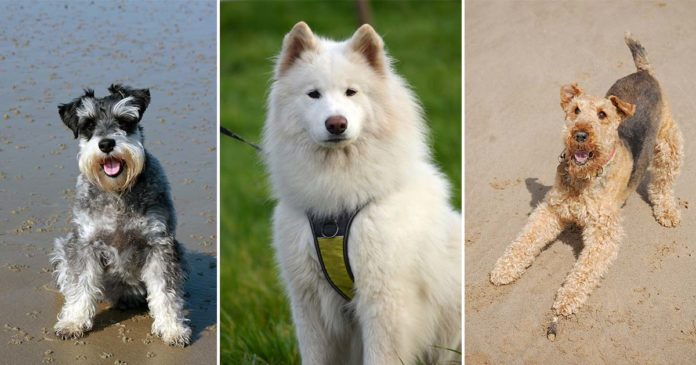 Razas de perros hipoalergénicos