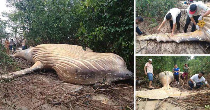 Ballena jorobada aparece muerta misteriosamente en la Selva Amazonica