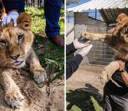 Extirpan garras a leona en zoológico para que juegue con los niños