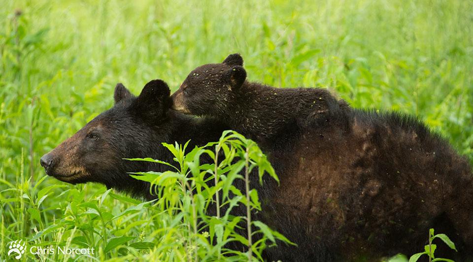 Familia osos negros