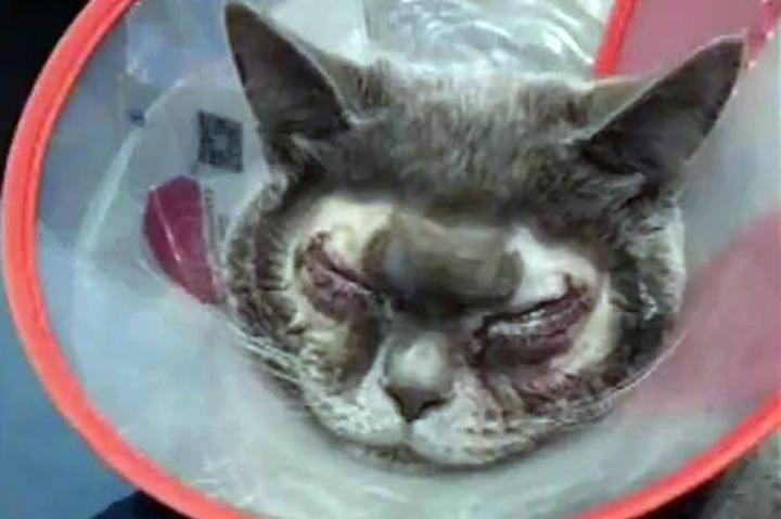 Gato con cirugía plástica