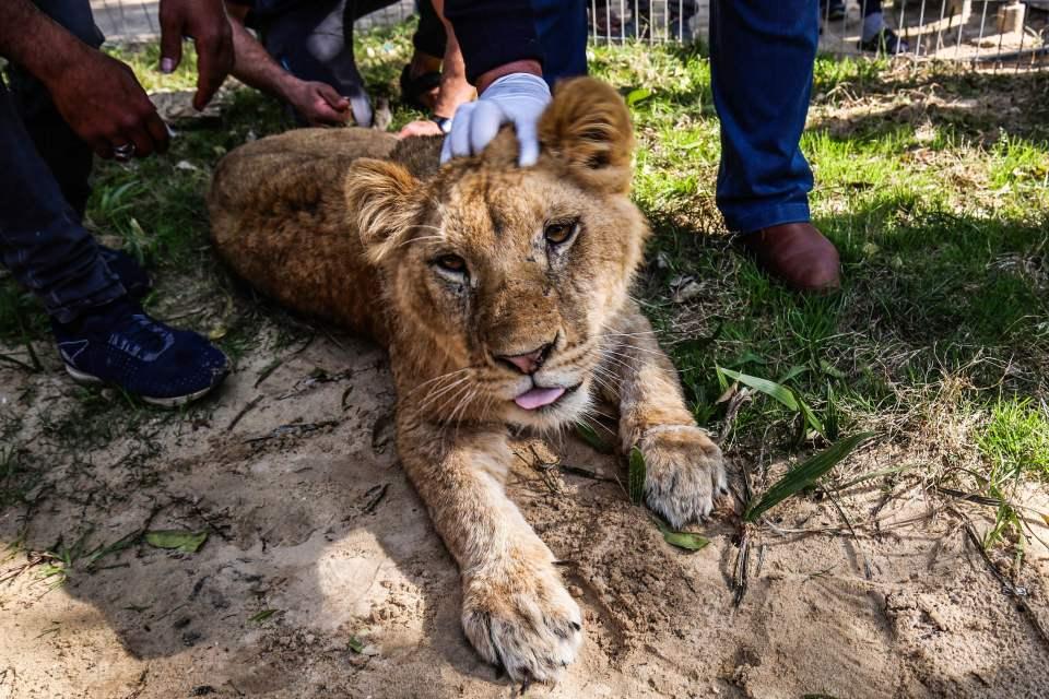 Leona mutilada