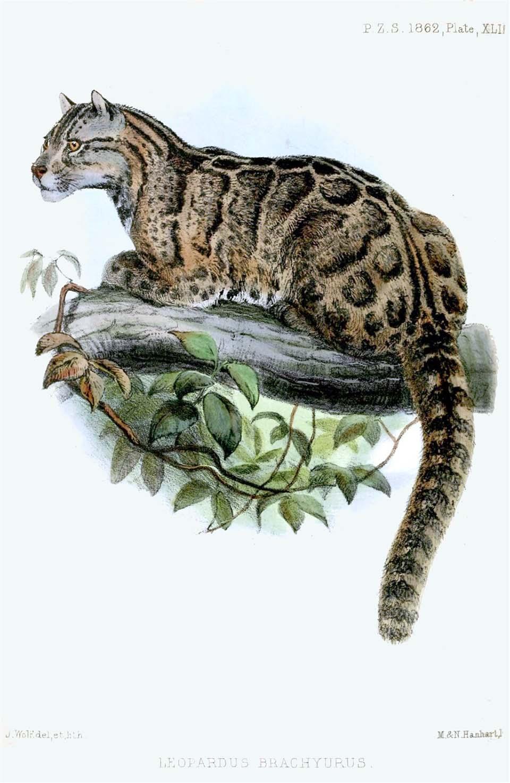Leopardo nublado de Taiwán