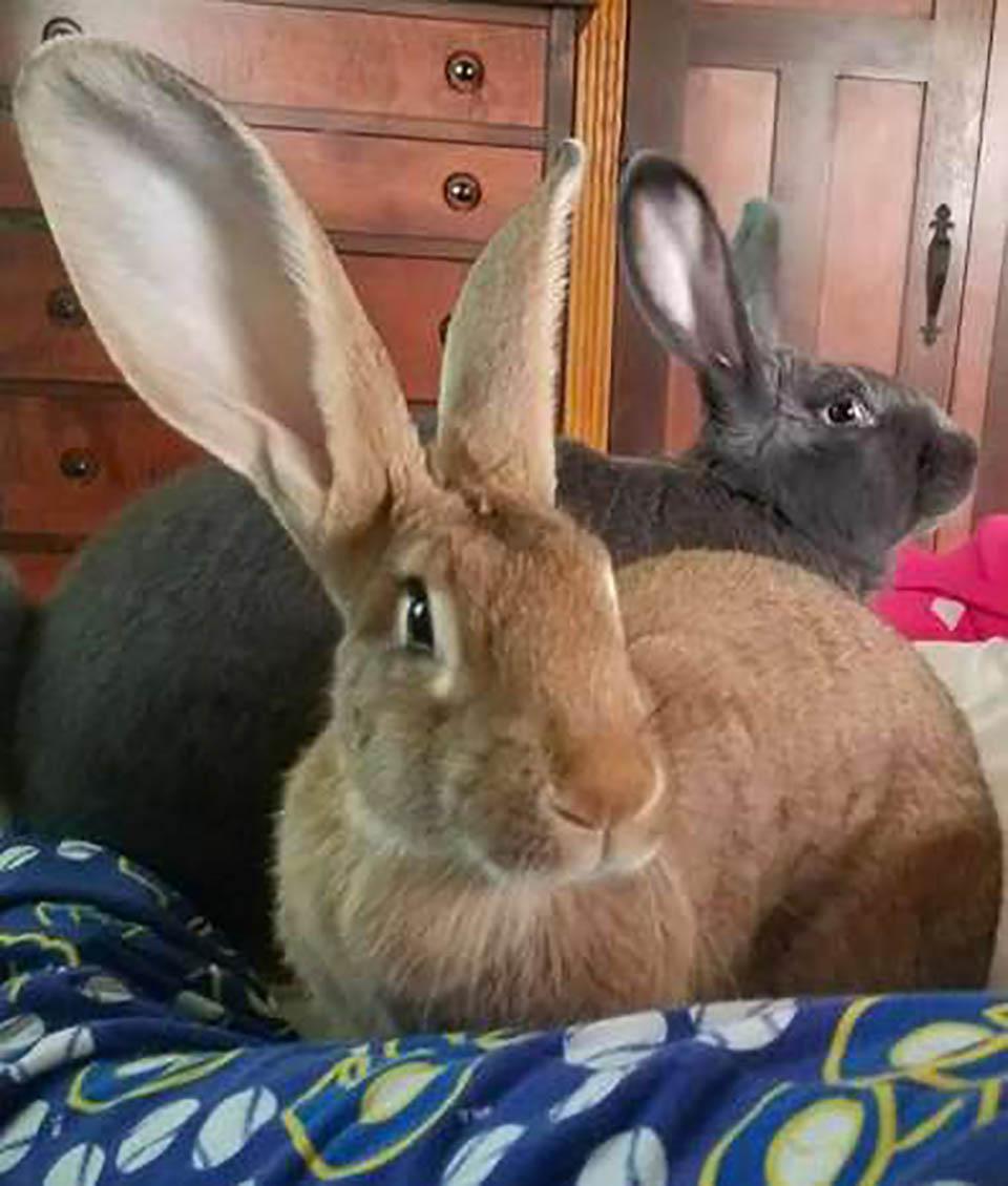 Pareja de conejos gris y marron