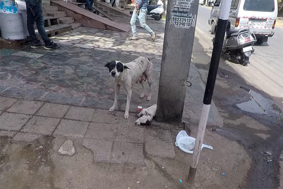 Perrita pide ayuda para su cachorro herido