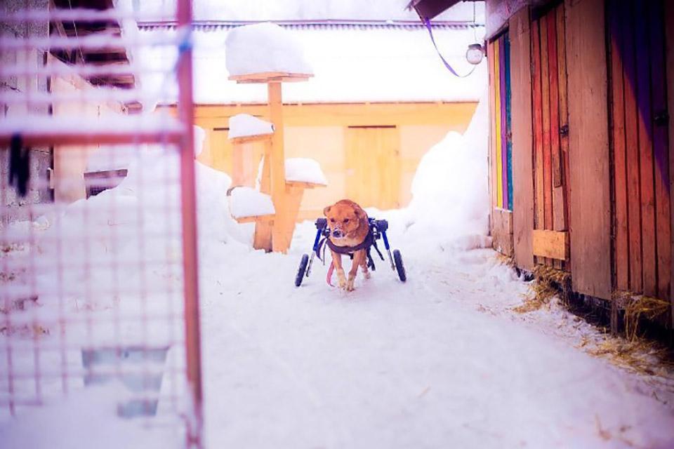Perro invalido pasea por la nieve